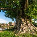Bodhi Baum Sukhothai Historical Park