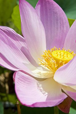 Geöffnete rosafarbene Lotusblüte