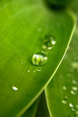Lotuseffekt: Tautropfen perlen von grünem Blatt ab