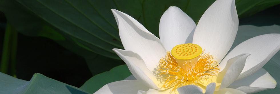 Geöffnete Lotusblume