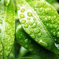 Blätter mit Tautropfen