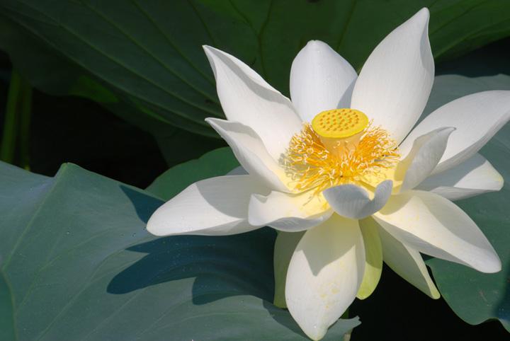geöffnete weiße Lotusblume